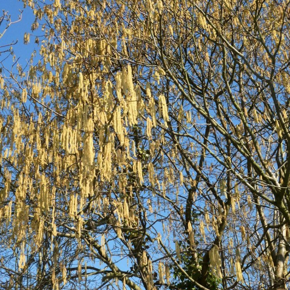 Buds of catkins – Jo Jones